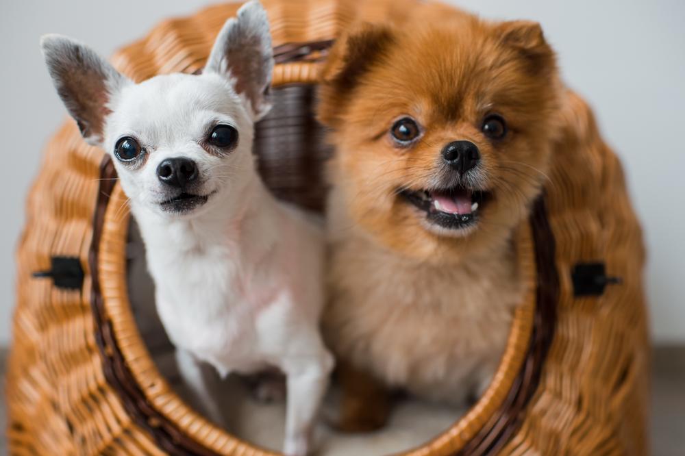 何種類知ってる?】チワワのミックス犬11種類の性格や特徴まとめ