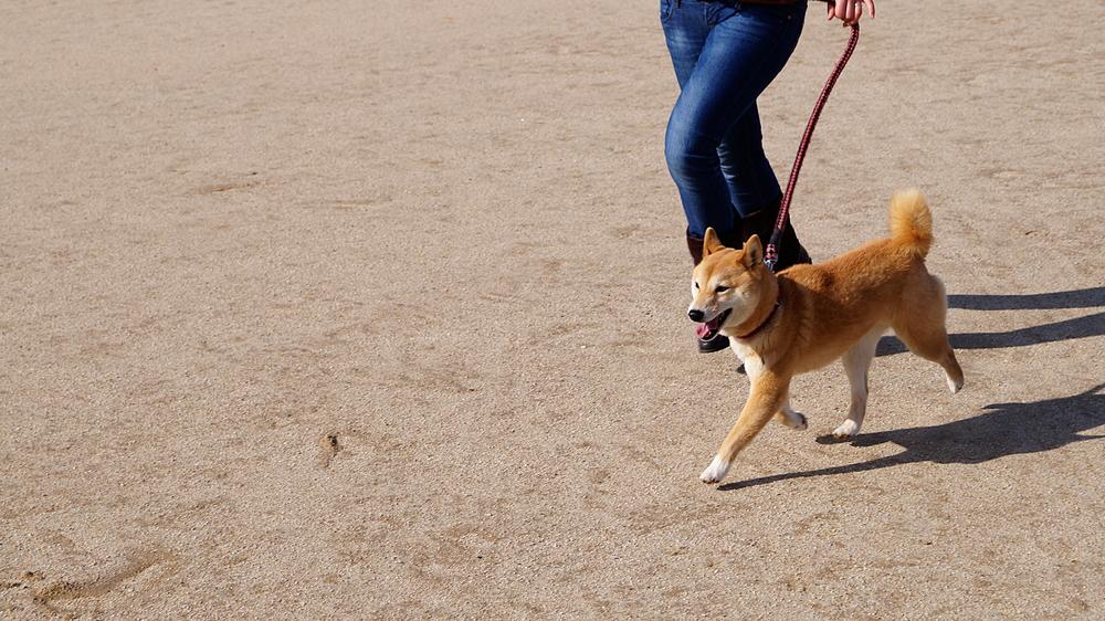 散歩 時間 柴犬